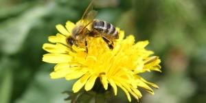 Apis mellifica - Honigbiene