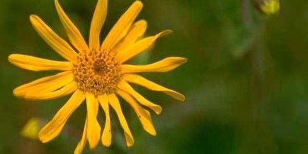 Arnica montana – Bergwohlverleih