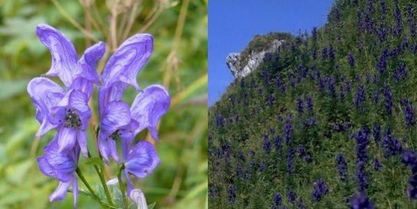 Aconitum napellus – Blauer Eisenhut