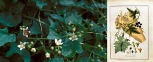 Bryonia alba - weiße Zaunrübe