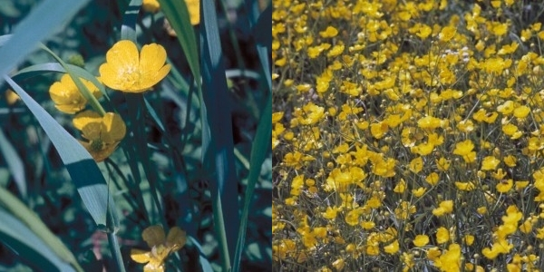 Ranunculus bulbosus – Knolliger Hahnenfuss