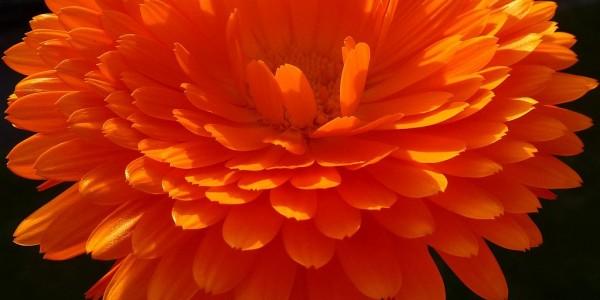 Calendula Blüte