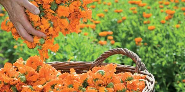 Heilpflanzengarten: Das große Blühen