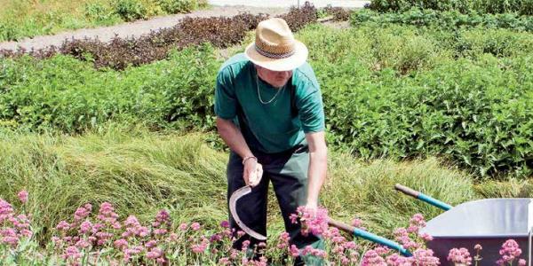 Heilpflanzengarten: Nachwachsende Medizin