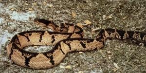 Lachesis – Gift der Buschmeisterschlange