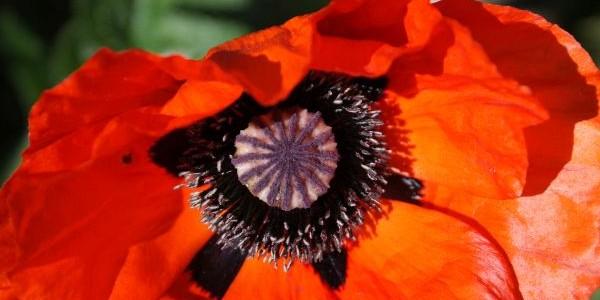 Opium – Schlafmohn