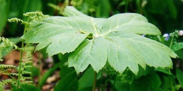 Podophyllum – Fußblatt