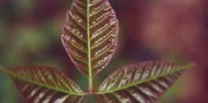 Rhus toxicodendron – Giftsumach
