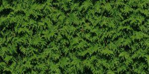 Thuja Lebensbaum