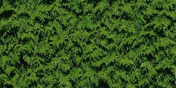 Thuja – Lebensbaum