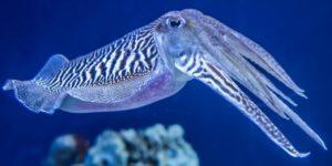 Sepia Tintenfisch Krake
