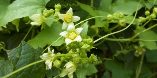 Bryonia alba – Weiße Zaunrübe