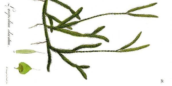 Lycopodium – Keulenbärlapp